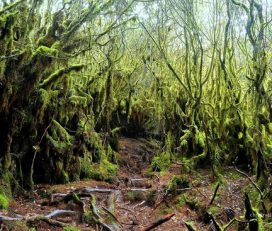 Mossy Forest, Brinchang